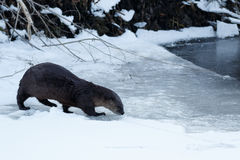 River otter walking on the ice. California, Tulelake, Lower Klamath National Wildlife Refuge, Taken 01.17 Royalty Free Stock Image