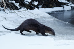 River otter walking on the ice. California, Tulelake, Lower Klamath National Wildlife Refuge, Taken 01.17 Stock Photography