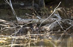 River Otter Lontra canadensis eating fish pond swamp habitat stock image