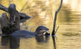 River Otter eating fish in a Georgia lake stock photography