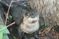 River otter taking a short cut over land Royalty Free Stock Photo
