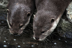 River otters drink from a pond Royalty Free Stock Photos