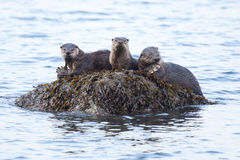 River Otters with food. These river otters are munching down on their food along the coast Royalty Free Stock Photography