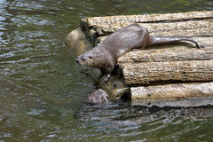 River Otters. Playing around a wood platform Stock Photo