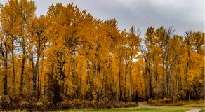 River park - hamilton ,mt 10/17/17. Yellow leaves on trees royalty free stock photography
