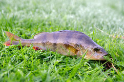 River perch. Caught early in the morning lying on the grass dewy Stock Image
