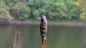 River perch on the hook stock video footage