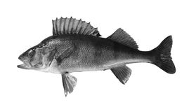 River perch isolated on white background. River perch isolated on white  background Stock Photo