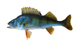 River perch isolated on white  background. River perch isolated on white background Royalty Free Stock Photo