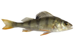 River perch, isolated on white background, striped fry bass.  Royalty Free Stock Photos