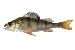 River perch, isolated on white background, striped fry bass.  Royalty Free Stock Photo