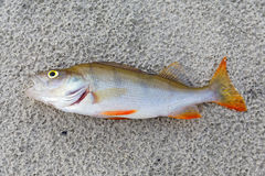 River perch Royalty Free Stock Images