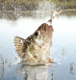 River predator. Big river perch (Perca fluviatilis). River predator Stock Image