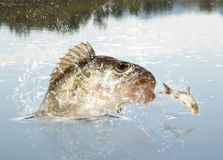 River predator. Big river perch (Perca fluviatilis). River predator Royalty Free Stock Photos