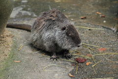 River rat Royalty Free Stock Photography