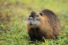 River rat. The river rat in the grassland stock photos