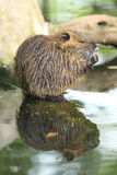 River rat. The river rat reflecting in water stock photography