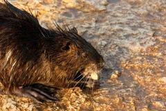 River Rat. An adult River Rat eating on the stony banks of Alexander Stream. Taken at: Nahal Alexander, Coastal Plain, Israel royalty free stock photo