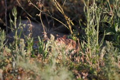 River rat disguised. Ave river rat disguised between the vegetation from the riverbank looking for food, north of Portugal royalty free stock photo