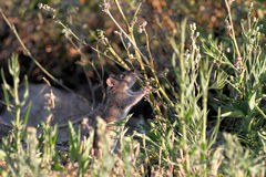 River rat disguised. Ave river rat disguised between the vegetation from the riverbank looking for food, north of Portugal stock images
