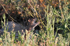 River rat disguised. Ave river rat disguised between the vegetation from the riverbank looking for food, north of Portugal stock image