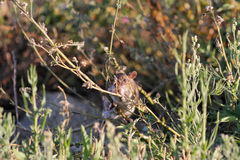 River rat disguised. Ave river rat disguised between the vegetation from the riverbank looking for food, north of Portugal royalty free stock image