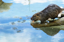 River rat, Nutria (Myocastor coypus) with a carrot in the mouth gliding in the water.  stock images