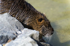River rat, Nutria (Myocastor coypus) gliding in the water.  stock images