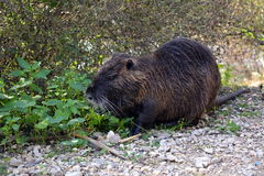 River rat in the reserve. Ein Afek in Israel royalty free stock images