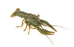 River raw crayfish close-up isolated on white background royalty free stock image