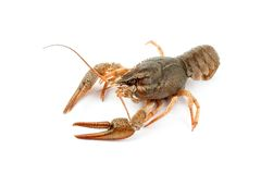 River raw crayfish Stock Photo