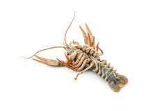 River raw crayfish Royalty Free Stock Photo
