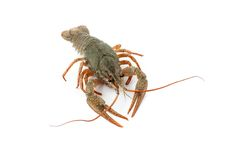 River raw crayfish Stock Photography