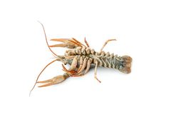 River raw crayfish Royalty Free Stock Image