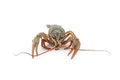 River raw crayfish Royalty Free Stock Photography