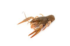 River raw crayfish Stock Images