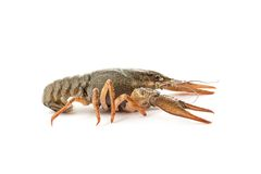 River raw crayfish Royalty Free Stock Images