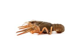 River raw crayfish Stock Photos