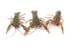 River raw crayfishes Stock Photography