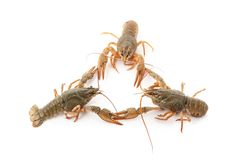 River raw crayfishes Royalty Free Stock Images