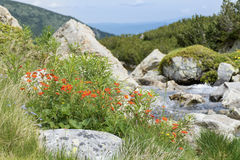 River and red wild flowers in Pirin  mountain,Bulgaria Royalty Free Stock Photos