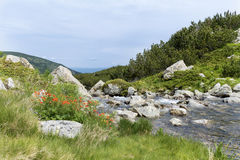 River and red wild flowers in Pirin  mountain,Bulgaria Royalty Free Stock Photo