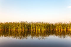 River with reed in Friesland, The Netherlands. River with reed reflected in the water in Friesland, The Netherlands Royalty Free Stock Image