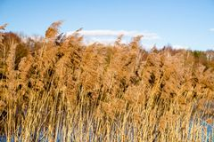 River reeds in spring. River reeds in early spring on the river bank Stock Photo