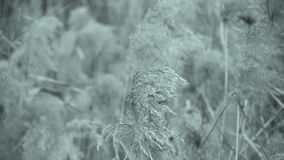 River reeds in wind,shaking wilderness,Black and white style. stock video footage