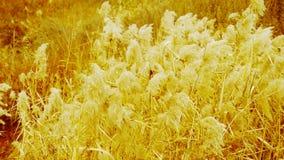 River reeds in wind,shaking wilderness,Bright sunshine,sunset,sunrise,Hazy style. stock footage