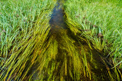 River running through reeds. River running through tall grasses Royalty Free Stock Photo
