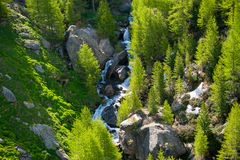 River runs through a larch forest in Spring Stock Photo