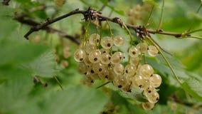 River sönder nya bär för vit vinbär på filial i trädgårds- makro arkivfilmer