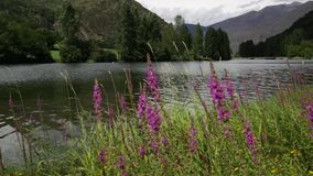 River Scene with purple flowers. stock video footage